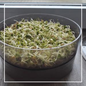 Nachhaltige Ernährung - Sprossen selbst anpflanzen